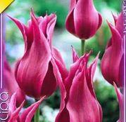 Bulbi de flori Lalea Maytime 8buc