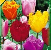 Bulbi de flori Lalea Fringed Mixed 10buc