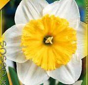 Bulbi de flori Narcisa Ice Follies 5buc