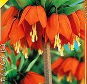 Bulbi de flori Fritillaria Imperialis Rubra 1buc