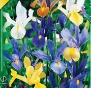 Bulbi de flori Iris hollandica Mixed 10buc