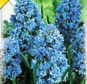 Bulbi de flori Muscari armeniacum Blue Spike 10buc