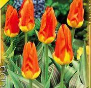 Bulbi de flori Lalea Juan 10buc