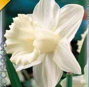 Bulbi de flori Narcisa Mount Hood 5buc