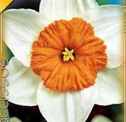 Bulbi de flori Narcisa Prof. Einstein 5buc