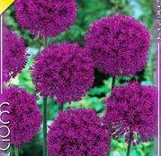 Bulbi de flori Ceapa ornamentala Allium Aflatunense 3buc