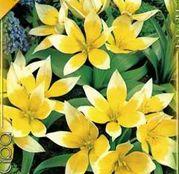 Bulbi de flori Lalea Tarda 10buc