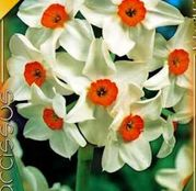 Bulbi de flori Narcisa Tazetta Geranium 5buc
