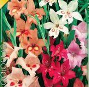 Bulbi de flori Gladiole Nanus mixed 8 buc