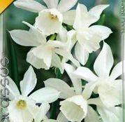 Bulbi de flori Narcisa Thalia 5buc