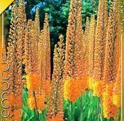 Bulbi de flori Eremurus Ruiter Hybrid Cleopatra 1buc