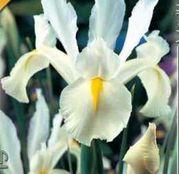 Bulbi de flori Iris hollandica White van Vliet 10buc
