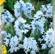 Bulbi de flori Puschkinia scilloides 15buc