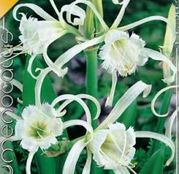Bulbi de flori Hymenocallis Festalis 1buc