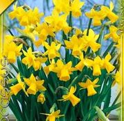 Bulbi de flori Narcisa Tete a Tete 10buc