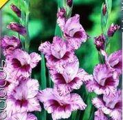 Bulbi de flori Gladiole Passos 8 buc