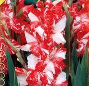 Bulbi de flori Gladiole Zizanie 8 buc