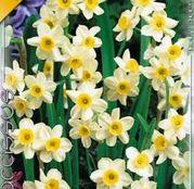 Bulbi de flori Narcisa Minnow 10buc