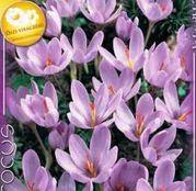 Bulbi de flori Brandusa Crocus Speciosus 10buc
