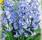 Bulbi de flori Zambile multiflori Blue/Albastre 1buc