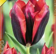 Bulbi de flori Lalele Slava 8buc