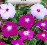 Seminte flori Vinca (Catharanthus roseus) 0.1g