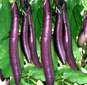 Seminte Vinete Long Purple 50 g