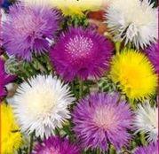 Seminte flori Vinetica parfumata (Centaurea imperialis) 0.5g