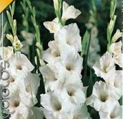 Bulbi de flori Gladiole white Prosperity 10 buc