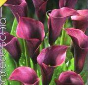 Bulbi de flori Cala Violet 1buc