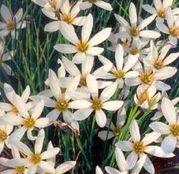 Bulbi de flori Zephiranthes Candida 10buc