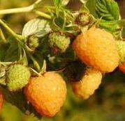 Arbusti fructiferi Zmeur Fallgold - portocaliu