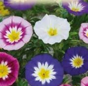 Seminte flori Zorele pitice Mix (Convolvulus tricolor) 2g